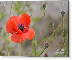 Red Acrylic Print by Lisa L Silva