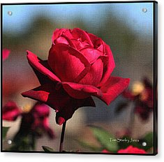 Red Rose At Mcc Acrylic Print