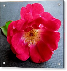 Red Rose Acrylic Print by Joyce Woodhouse
