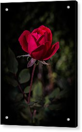 Red Rose Of Love Acrylic Print by Kathleen Scanlan