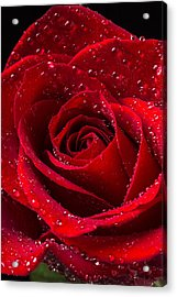 Red Rose With Dew Acrylic Print