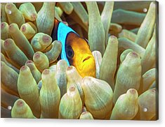 Red Sea Anemonefish Acrylic Print by Georgette Douwma