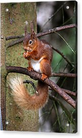 Red  Squirrel Acrylic Print by Tom Gallacher