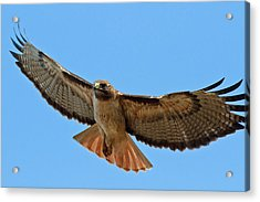 Red-tailed Hawk  Acrylic Print by Carl Jackson