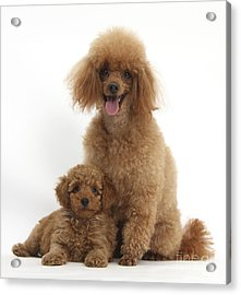 Red Toy Poodle Dog And Puppy Acrylic Print by Mark Taylor