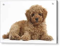 Red Toy Poodle Puppy Acrylic Print by Mark Taylor
