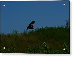 Red Winged Blackbird Acrylic Print by Andrew Lahay