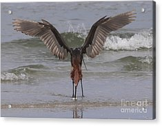 Reddish Egret Fishing Acrylic Print