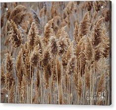 Wind Blown Redish Brown Plants Acrylic Print