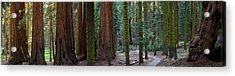 Redwood Trees In A Forest, Sequoia Acrylic Print
