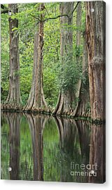 Reflections Of Cypress Trees Acrylic Print by Art Wolfe