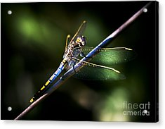 Resting Dragonfly Acrylic Print by Jorgo Photography - Wall Art Gallery