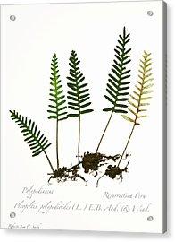 Resurrection Fern 2 Acrylic Print