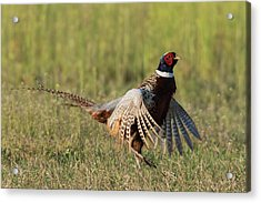 Ring-necked Pheasant, Courtship Display Acrylic Print