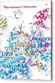 Rna Polymerase II And Tfiib Acrylic Print by Ramon Andrade 3dciencia