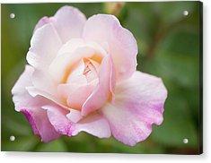 Rosa 'gruss An Aachen' Flower Acrylic Print by Maria Mosolova