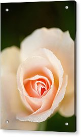 Rosa 'johann Strauss' Flower Acrylic Print by Maria Mosolova