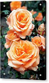 Rose (remy Martin) Acrylic Print by Brian Gadsby/science Photo Library