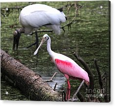 Roseate Spoonbill Acrylic Print by Theresa Willingham