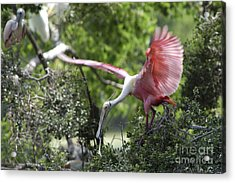 Roseate Spoonbill With Stick For Nest Acrylic Print