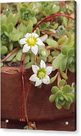 Rosularia Sedoides Var Alba Acrylic Print by Science Photo Library