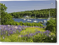 Round Pond Lupine Flowers On The Coast Of Maine Acrylic Print