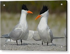 Royal Terns Acrylic Print by James Petersen