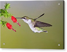 Ruby-throated Hummingbird (archilochus Acrylic Print by Larry Ditto