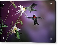 Ruby-throated Hummingbirds (archilochus Acrylic Print by Richard and Susan Day
