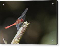 Acrylic Print featuring the photograph Ruddy Darter Dragonfly - Sympetrum Sanguineum by Jivko Nakev