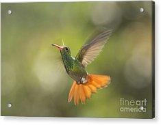 Acrylic Print featuring the photograph Rufous-tailed Hummingbird by Dan Suzio
