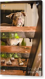 Sad Lost Puppy Dog Looking Up Steps Of A House Acrylic Print by Jorgo Photography - Wall Art Gallery
