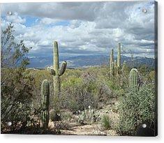 Saguaros Acrylic Print