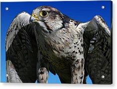 Saker Falcon Acrylic Print by Owen Bell