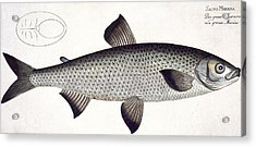 Salmon Acrylic Print by Andreas Ludwig Kruger