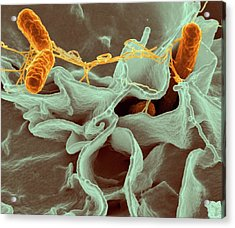 Salmonella Typhimurium Bacteria Acrylic Print by Ami Images