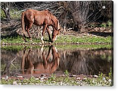 Salt River Wild Horse Acrylic Print by Tam Ryan