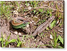 Sand Lizards Courting Acrylic Print by Bob Gibbons