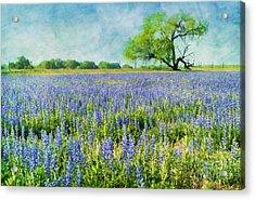 Sandy Bluebonnets Acrylic Print