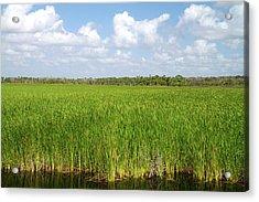 Sawgrass In The Florida Everglades Acrylic Print by David R. Frazier
