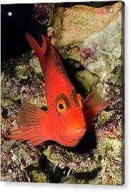Scarlet Hawkfish Or Flame Hawkfish Acrylic Print by Nigel Downer