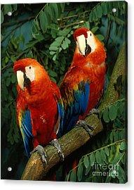 Scarlet Macaw Acrylic Print by Hans Reinhard