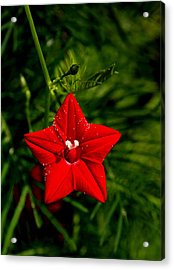 Scarlet Morning Glory Acrylic Print