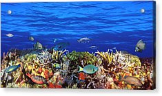 School Of Fish Swimming Near A Reef Acrylic Print by Panoramic Images