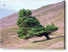 Scots Pine Tree Pinus Sylvestris Acrylic Print