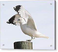 Sea Gull Acrylic Print by Paulette Thomas