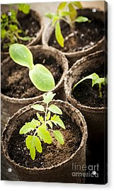 Seedlings Growing In Peat Moss Pots Acrylic Print by Elena Elisseeva