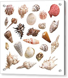 Selection Of Sea Shells Acrylic Print by Science Photo Library