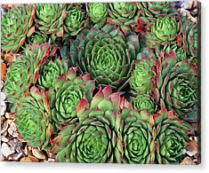 Sempervivum 'rubra Ray' Acrylic Print by Anthony Cooper/science Photo Library