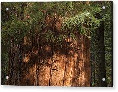 Sequoia Acrylic Print by Muhie Kanawati